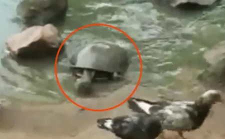 Tortoise Eats Pigeon