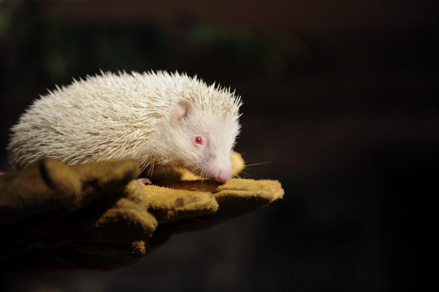 Landak albino ditemui di Russia