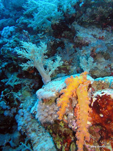 Желтый мягкий коралл
