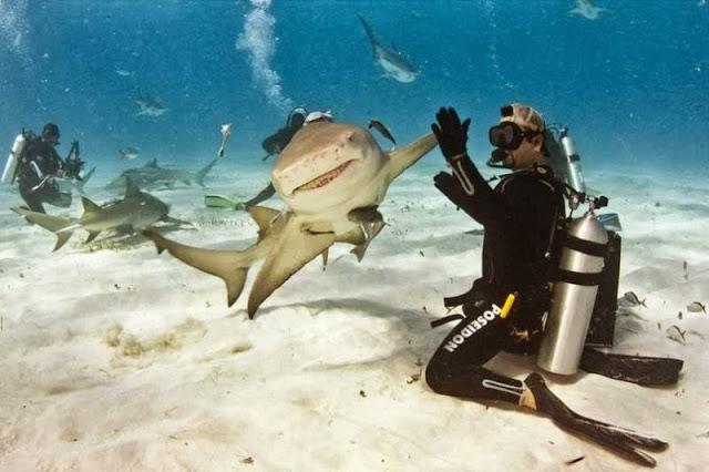 прикольное фото акулы и аквалангиста