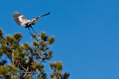 Great Blue Herons Nesting In Flight in Custer State Park Black Hills SD by Dakota Visions Photography LLC
