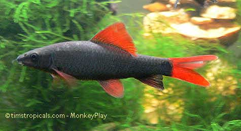 Rainbow shark fish, albino rainbow sharks, red tail shark vs rainbow ...
