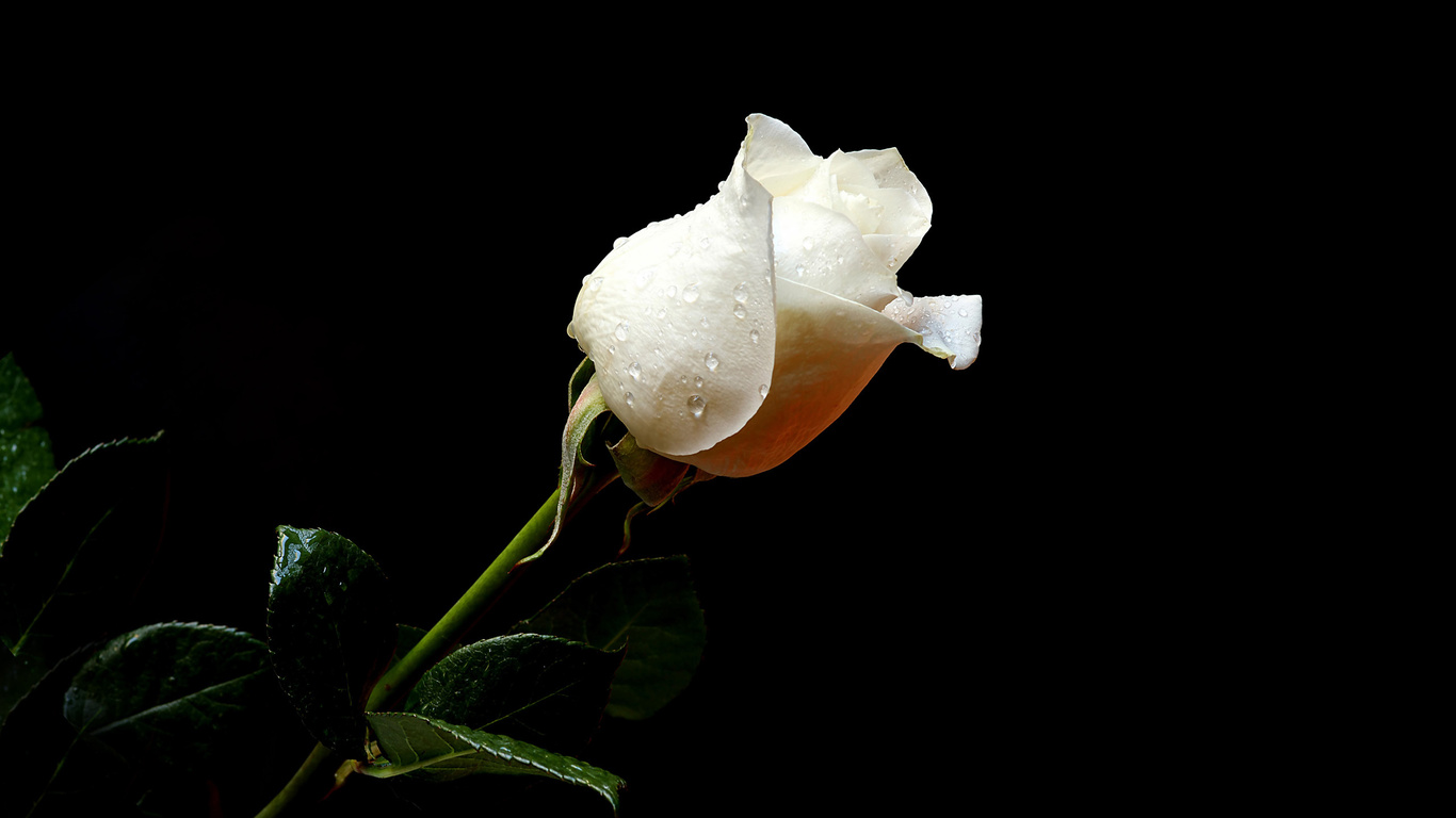 Imagenes De Rosas Blancas Animadas - imagenes animadas de rosas blancas moradas y rojas