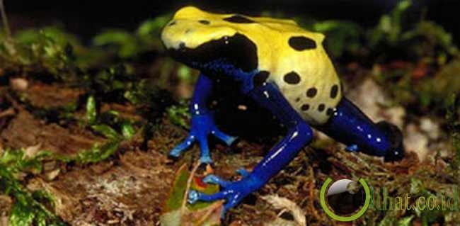 Blue Yellow Spotted Frog