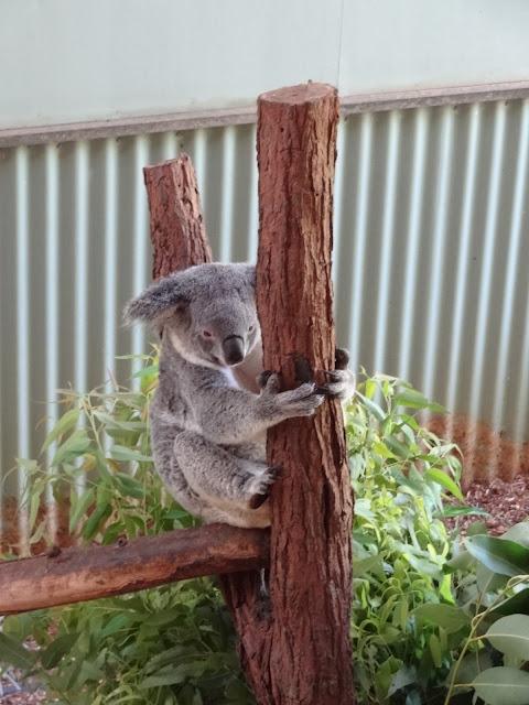 cairns australia koala bear