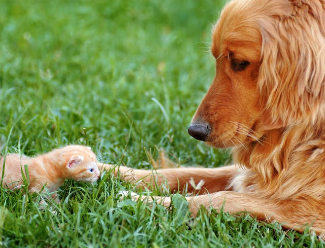 Mother dog looking after baby kitten image