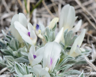 Cushion Milk-vetch flowers. Photo  © Shelley Banks, all rights reserved.