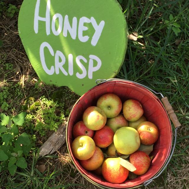 apple picking, honey crisps, apples, orchard