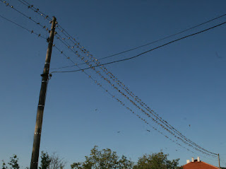 So many birds on Rambo's power lines