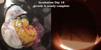This photo shows what an embryo three days away from hatching looks like from the inside (left) and when candling from the outside (right).