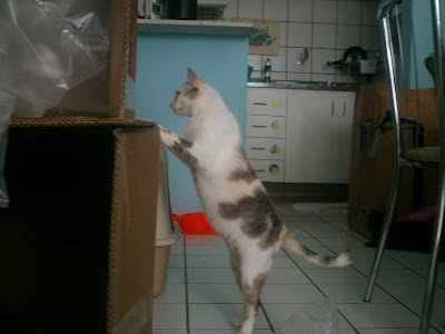 Gata Lili brincando com as caixas de papelão dos presentes novos