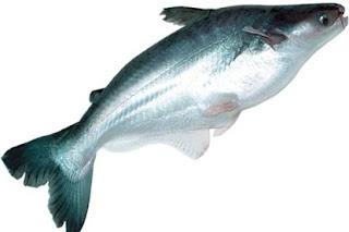 tips jitu teknik memancing,umpan mancing ikan patin di kolam pemancingan,patin kolam harian,ikan patin galatama,patin besar,sungai,di danau,mancing mania umpan ikan patin,sungai batanghari,