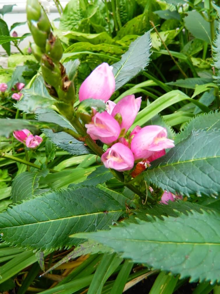 Turtlehead Chelone obliqua Fall blooming perennials Garden muses--a Toronto gardening blog