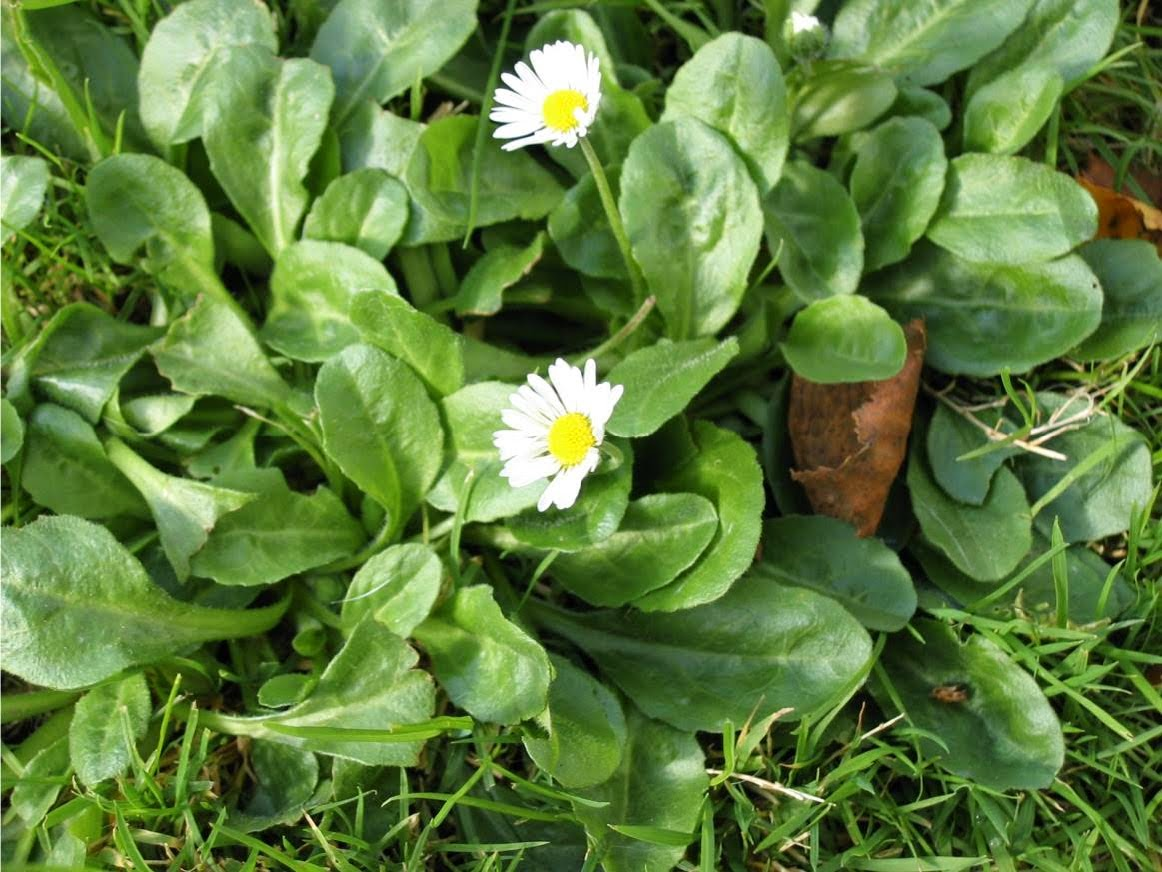 E-book plantes sauvages