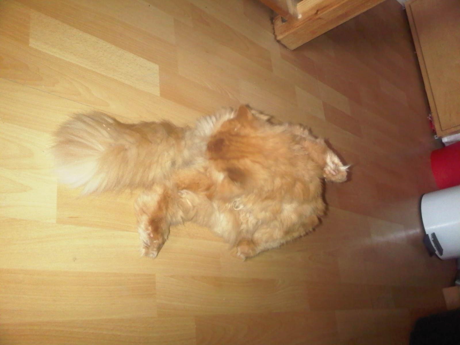 Perserkater putzt sich auf dem Fußboden