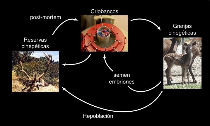 Tecnologías reproductivas en pequeños rumiantes: Ciervo con azafrán ...