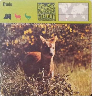 Blog Safari club, el Pudu