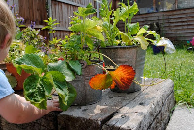 strawberry plants in old buckets