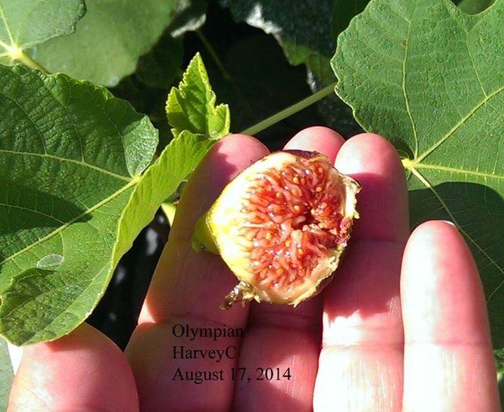 olympian figs