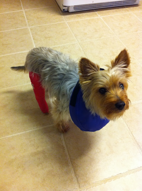 Silky Terrier dog with a cast on his leg.