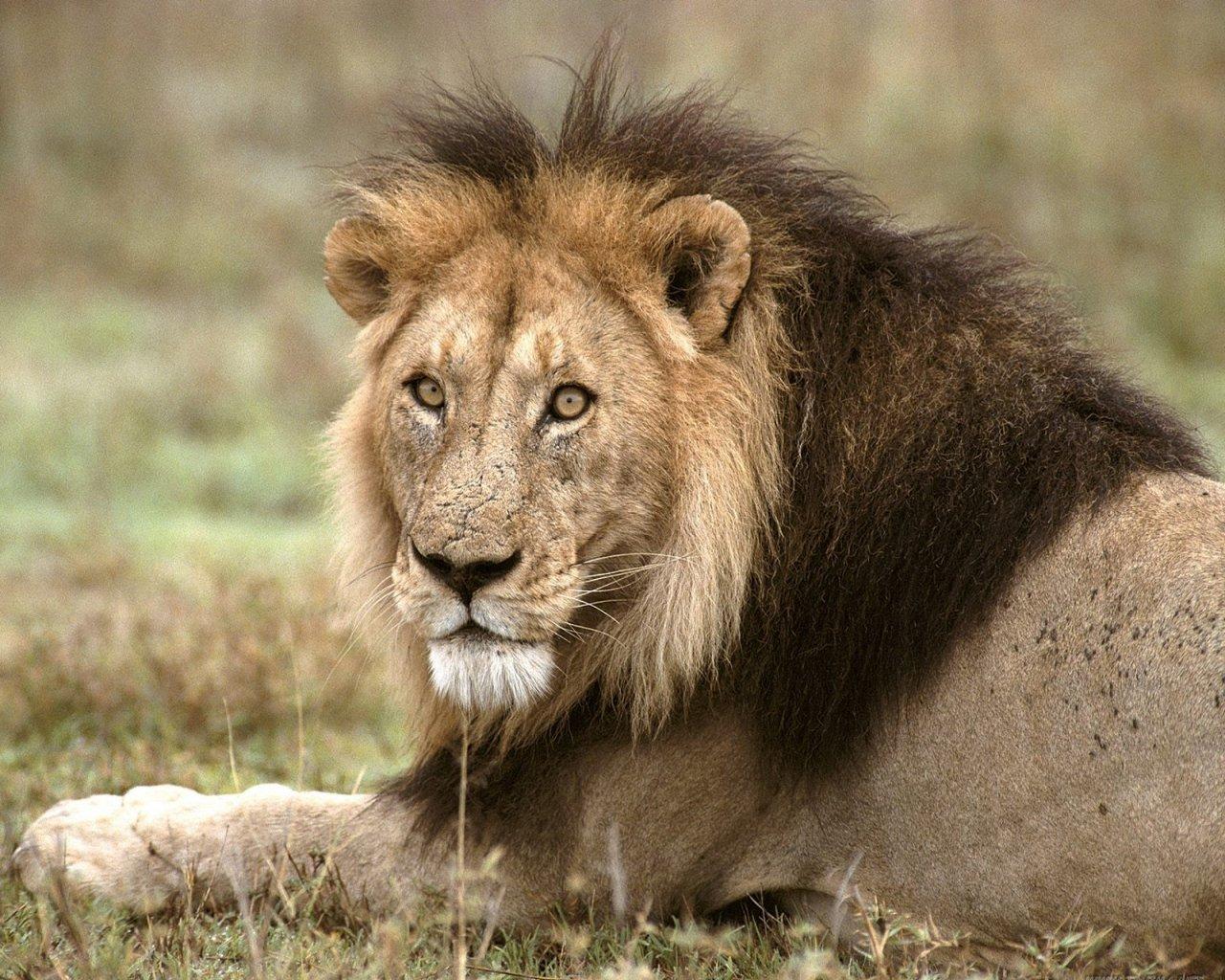 animales africanos leon