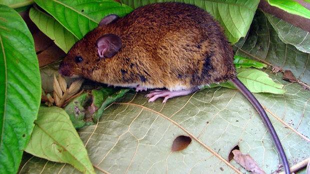 Rato-do-mato