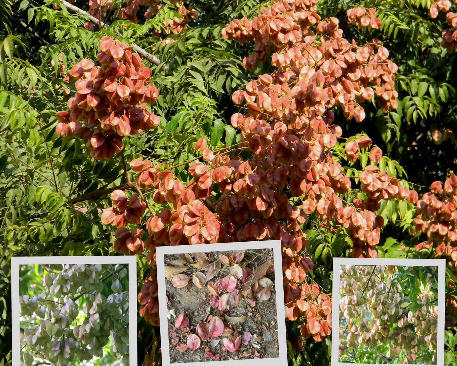 Garden almond - golden rain 57