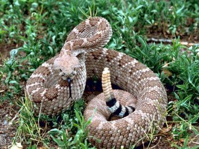 http://1.bp.blogspot.com/-GaBgqIRl8eY/TpHvw9mfkiI/AAAAAAAAAQs/B_9r-aytuC8/s1600/WesternDiamondback_USFWS.jpg
