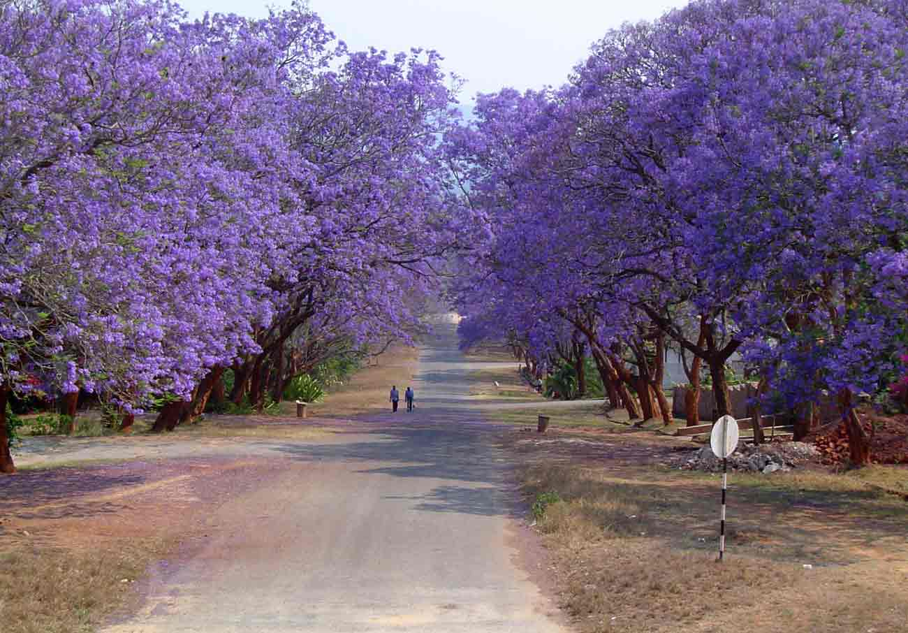 Happiness all around us.: FLOWERING TREES IN INDIA
