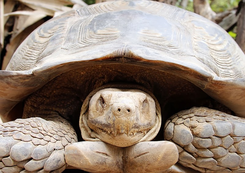 African spurred tortoise in Gambia
