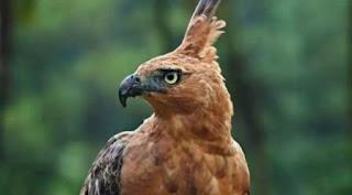 Apakah Burung Garuda benar benar ada....???