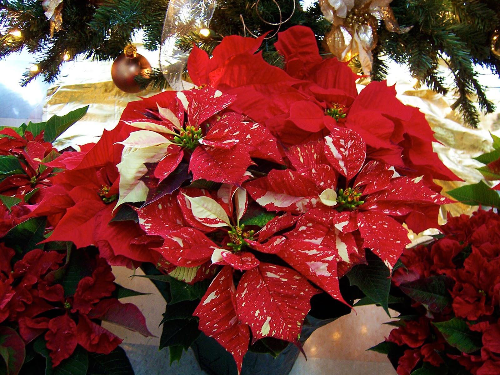 Poinsettia 'Mottled Susan Reimer'