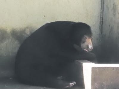 Foto Beruang Madu di Kebun Binatang Gembiraloka