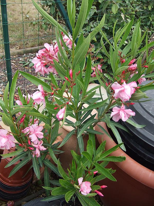 oleander r ckschnitt oleander zur ckschneiden so gelingt der radikalschnitt oleander schneiden. Black Bedroom Furniture Sets. Home Design Ideas