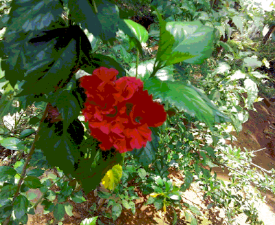 Chembarathi poovu is a common flower in Kerala