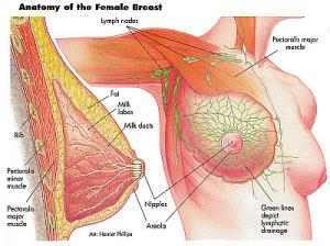 Mammae anatomi