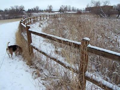 Beagle in the snow in Gunbarrel, Colorado