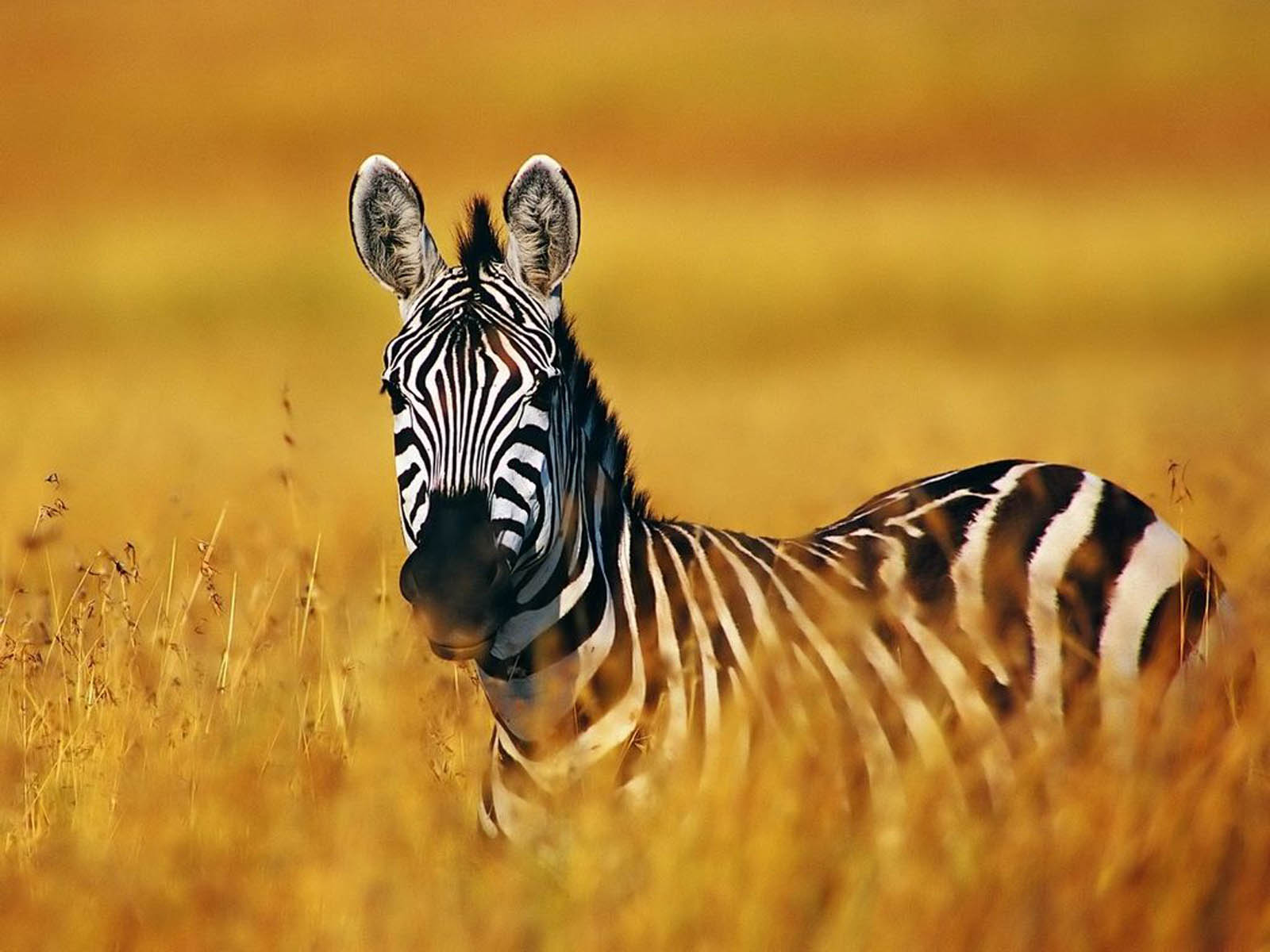 Wallpapers: Zebra Wallpapers