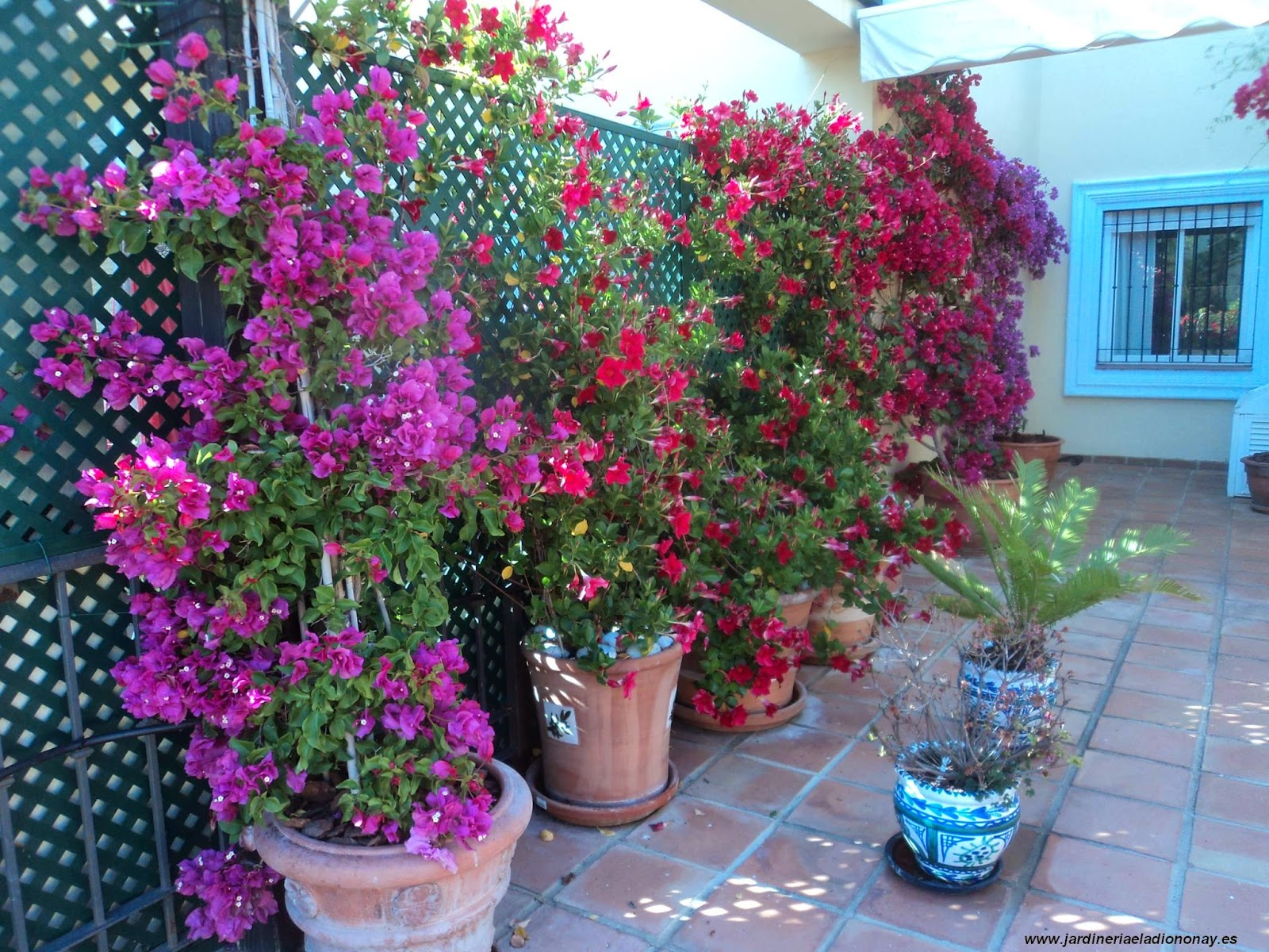 Jardineria eladio nonay celos as jardiner a eladio nonay - Madreselva en maceta ...