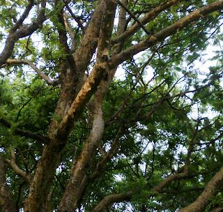 Vetal tekdi trees