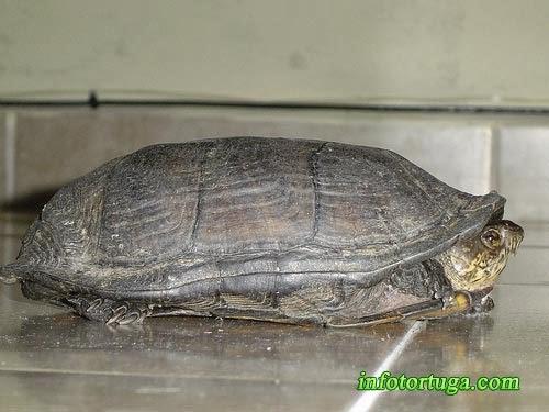 Kinosternon integrum - Tortuga del fango mexicana