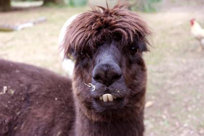 stinky alpaca