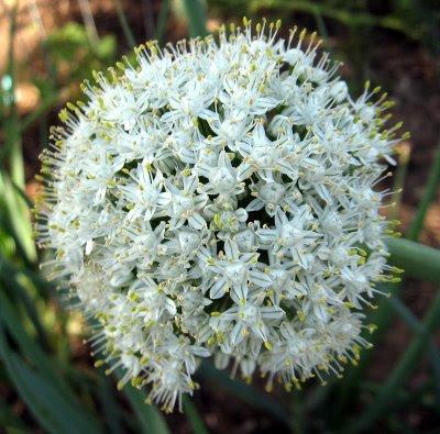 homegrown onion flower