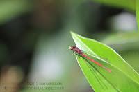 libellule rouge macro nymphe
