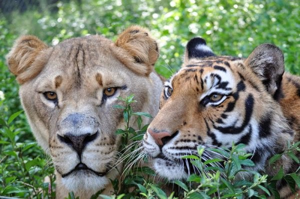 Lion and tiger cuddling with each other