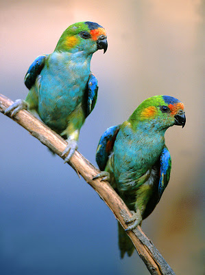 Lorikeets Bird Picture