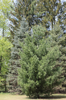 White pine trees provide health benefits from their needles, bark and pollen.