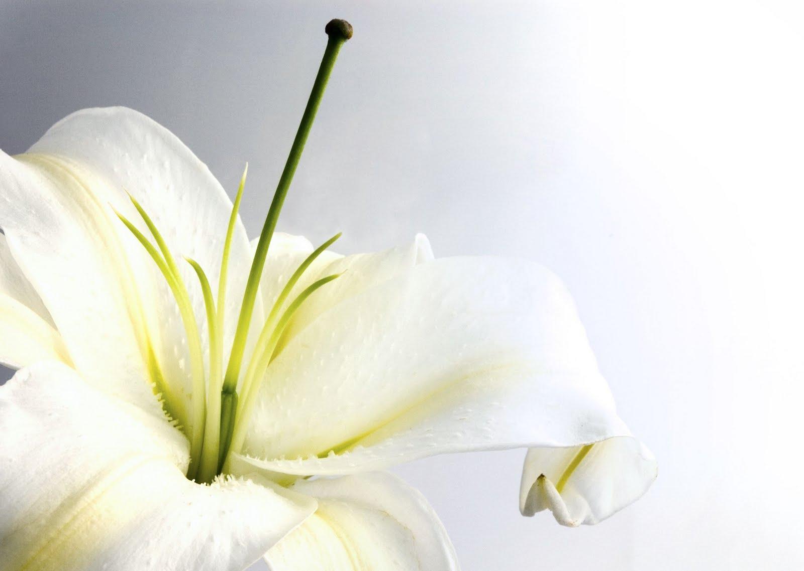http://1.bp.blogspot.com/-GdVw2KkxH5o/TftcHirWt7I/AAAAAAAAAZY/stKfgeX6-DE/s1600/white_lily.jpg