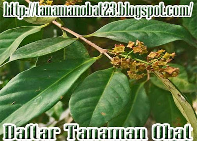 Daun Salam(Syzygium polyanthum Wigh Walp Sinonim Eugenia polyantha Wight)