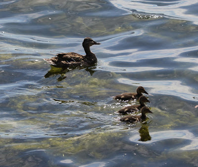 duck swimming with three ducklings